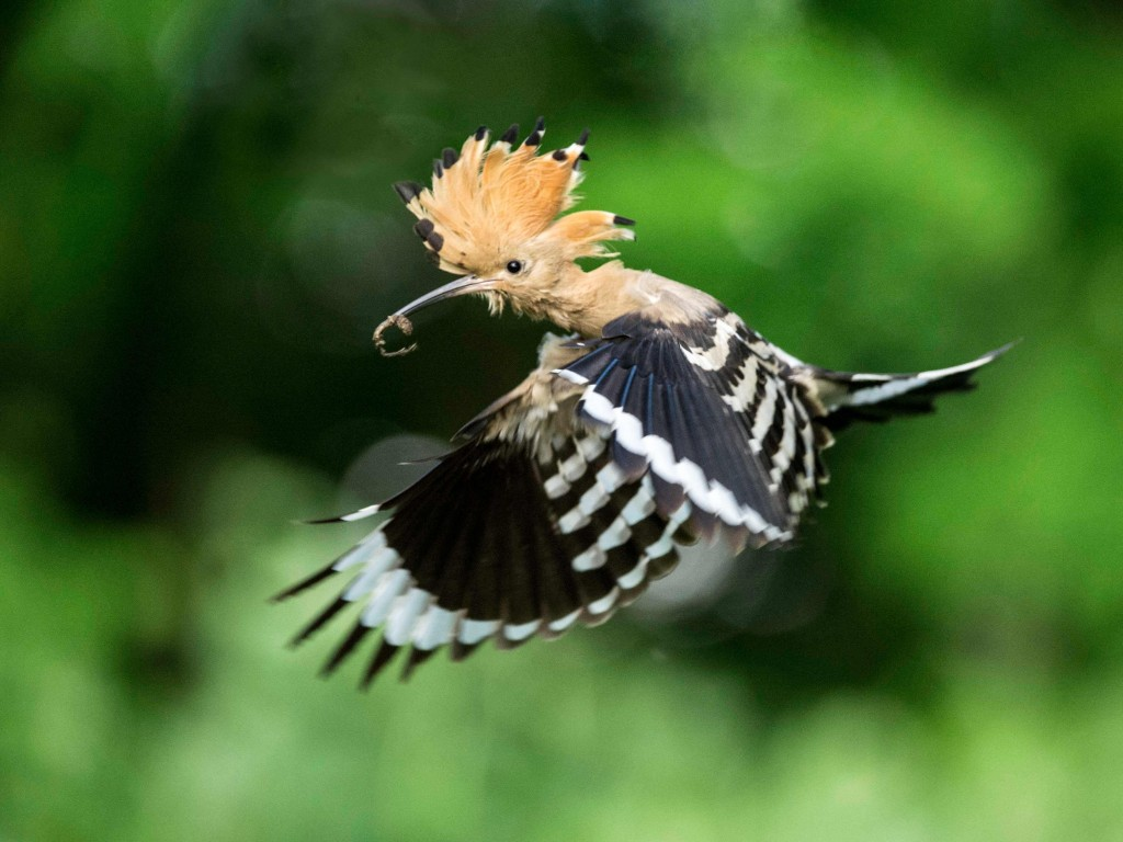 hoopoe-bird-carries-food-to-the-nest
