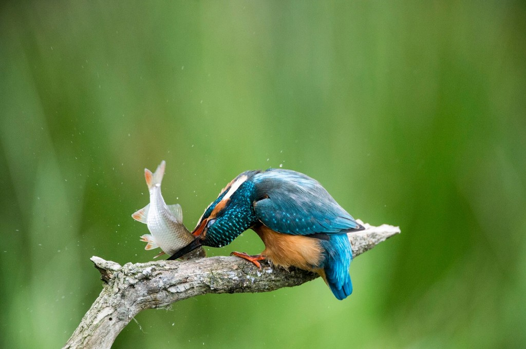 european-kingfisher-kills-a-fish-on-its-perch