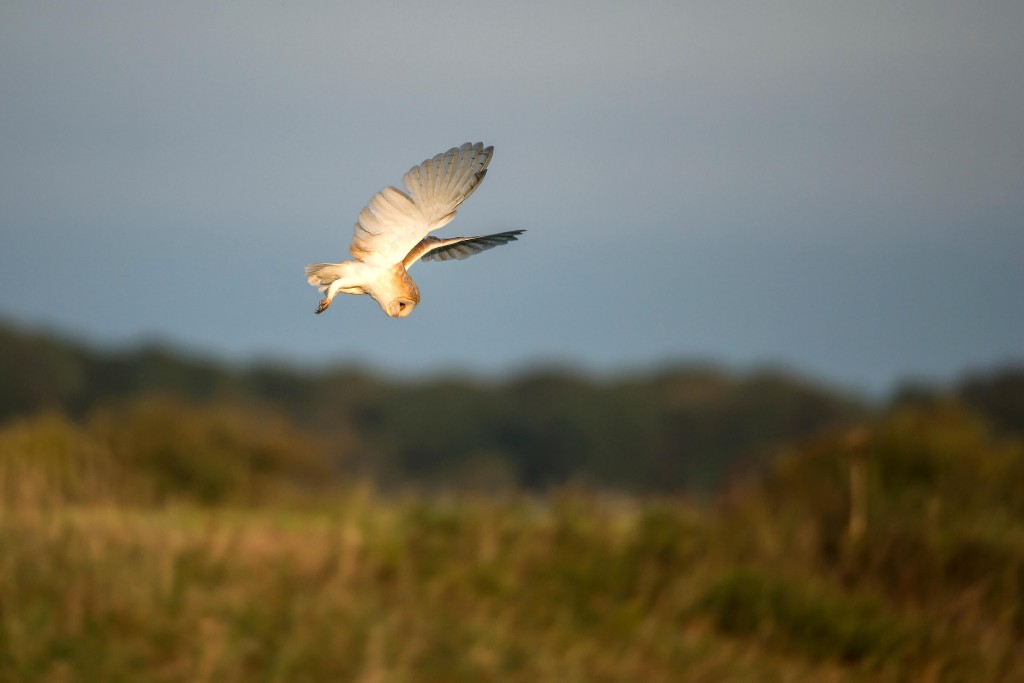 barn-owl-hunts-for-prey