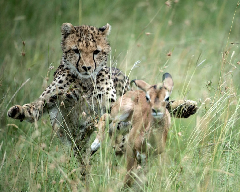 young-cheetah-chases-down-a-newborn-impala-fawn