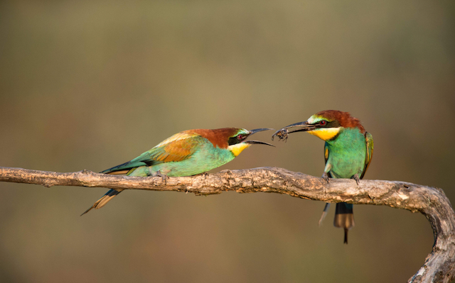 european-bee-eaters