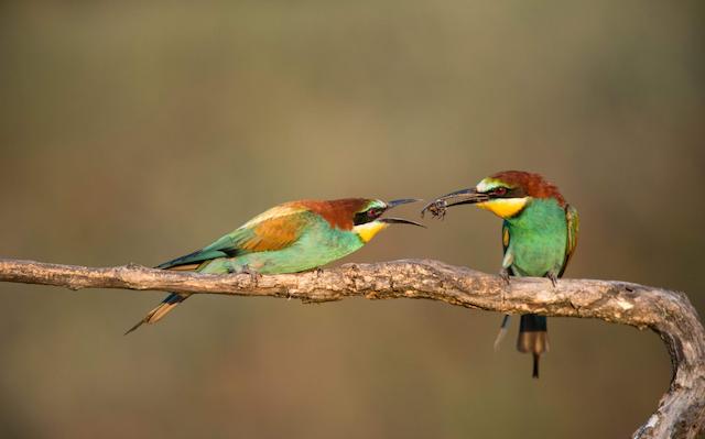 european-bee-eaters