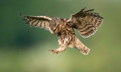 little-owl-in-flight