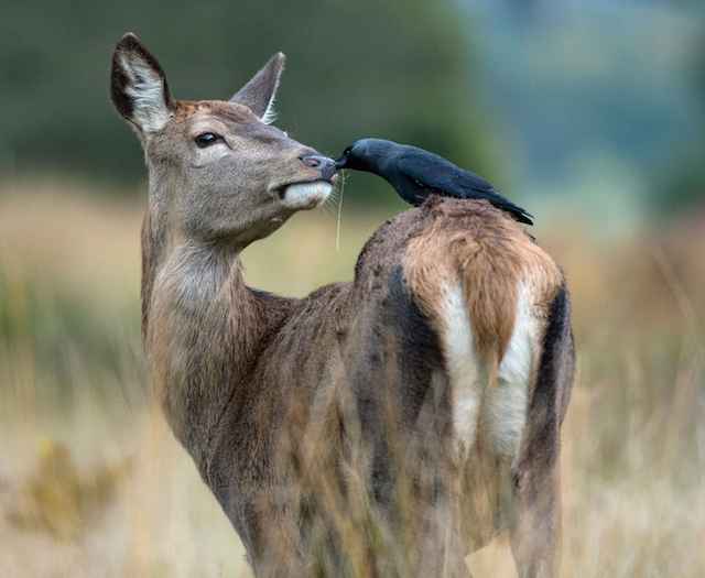 red-deer-hind-and-jackdaw