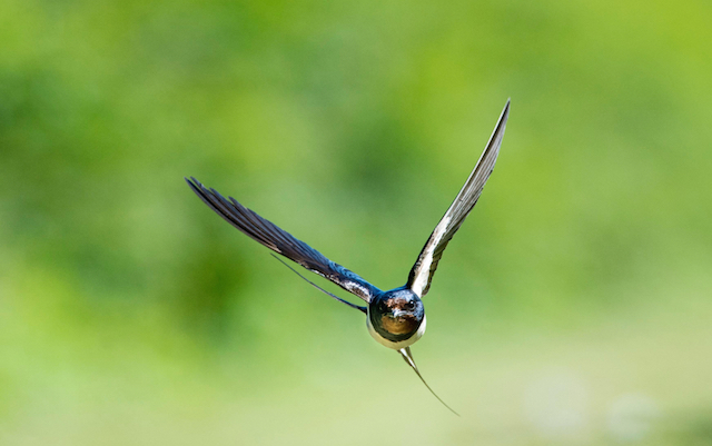 swallow-in-flight