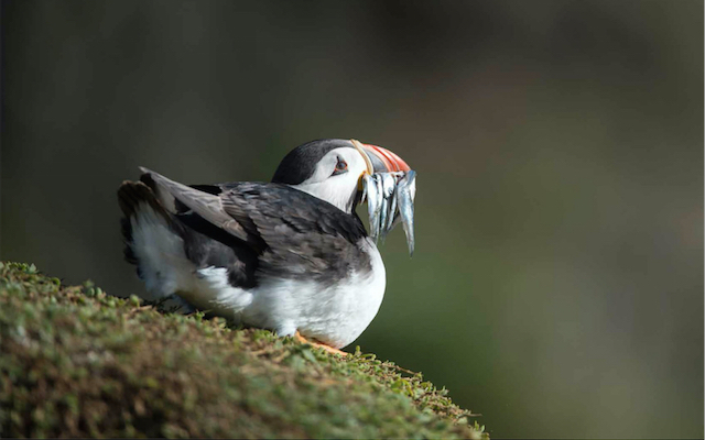 Atlantic puffin with sand eels, Skomer Island