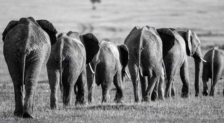 Line of African elephants, Kenya