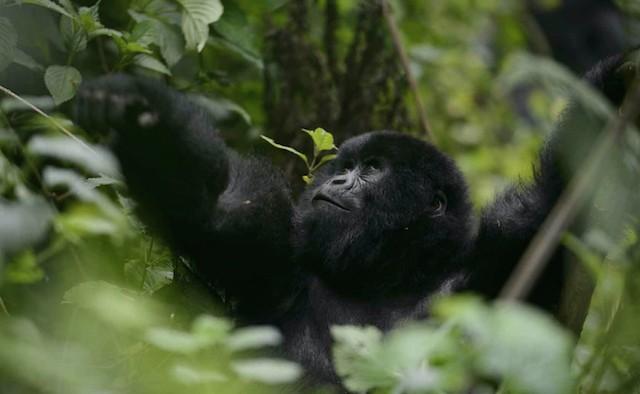 Mountain Gorilla, Rwanda lead