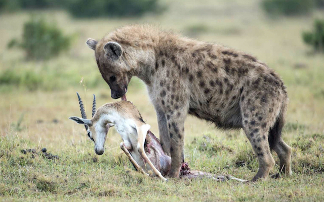 Spotted hyena with prey