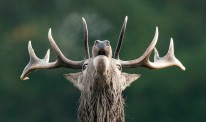 red-deer-stag-roars-during-a-rut-in-mating-season