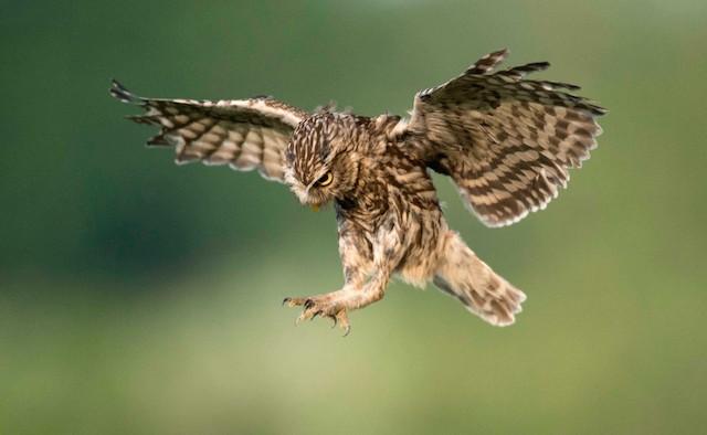 little-owl-in-flight
