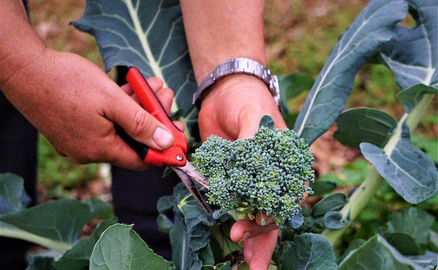 A closeup of a farmer's hands harvesting a crop.